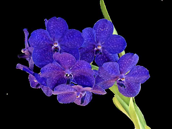 Hana orquidea.png